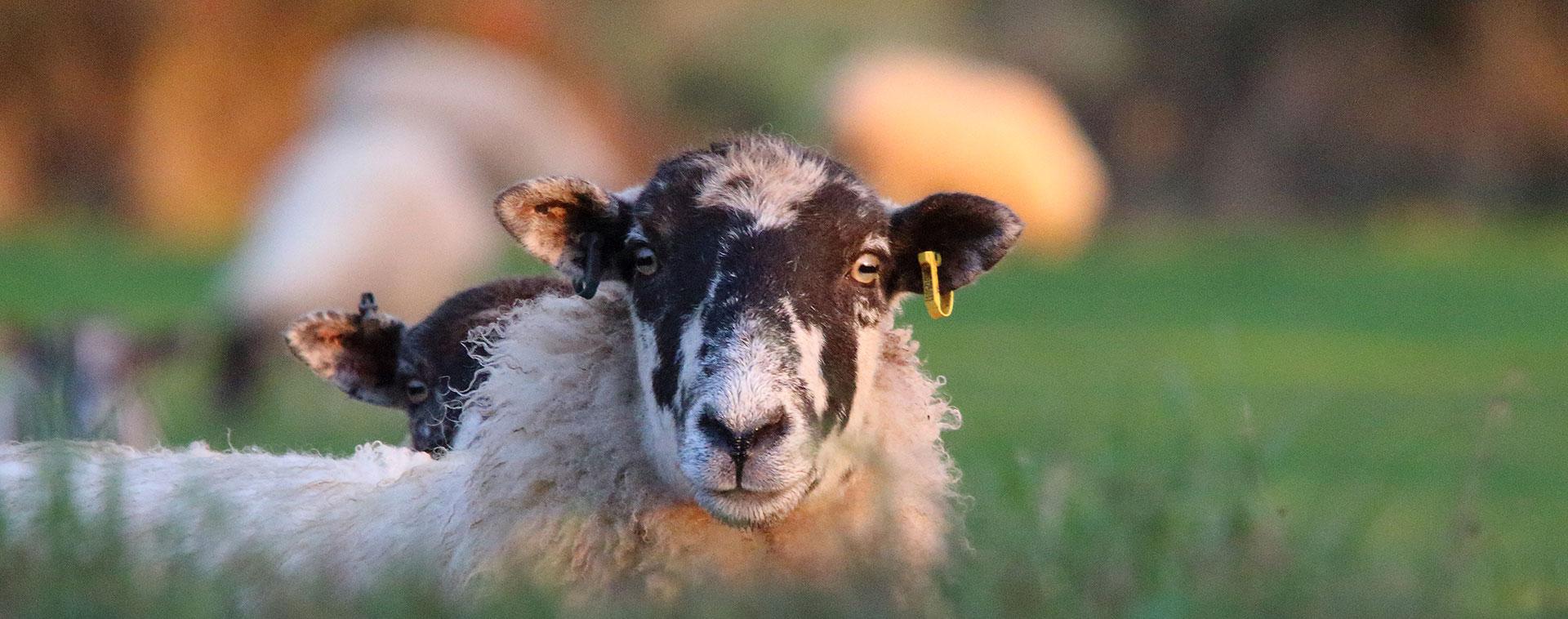 sheep 1920
